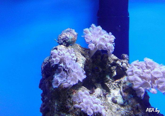 Морская улитка стромбус
